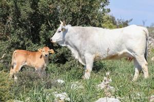 Vacca podolica con vitello